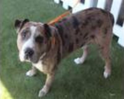 Adopt CHIEF a Catahoula Leopard Dog, Mixed Breed