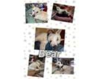 Adopt Bear a White Shepherd (Unknown Type) / Catahoula Leopard Dog / Mixed dog