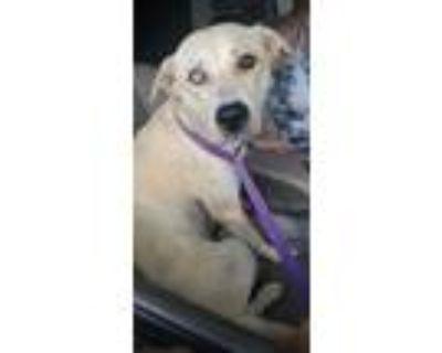 Adopt Chelsea a Labrador Retriever, Husky
