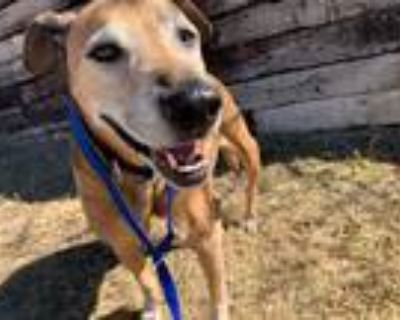 Adopt CHASE a Brown/Chocolate - with White Labrador Retriever / Mixed dog in
