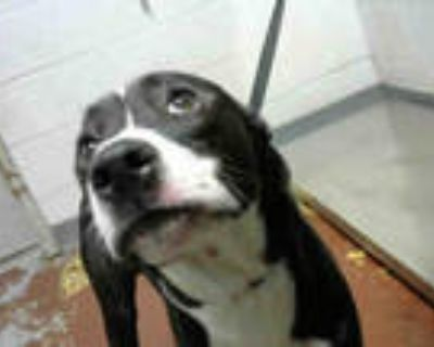 Adopt TIPPY a Black - with White American Pit Bull Terrier / Mixed dog in