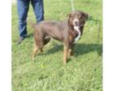Adopt A429129 a Labrador Retriever, Mixed Breed