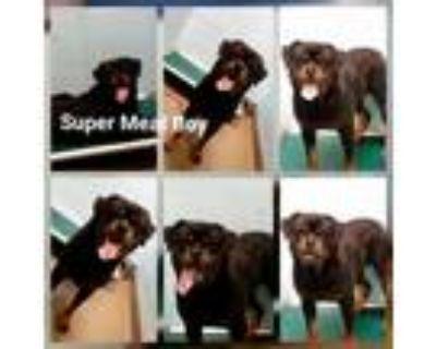 Adopt Super Meat Boy a Rottweiler