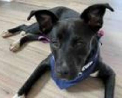 Adopt ONYXX a Pit Bull Terrier, Labrador Retriever