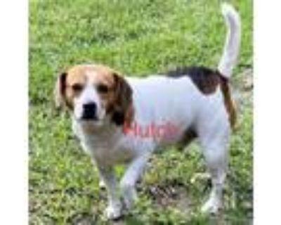 Adopt Hutch a Beagle