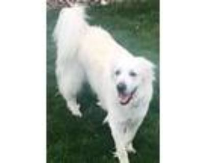 Adopt Neo a Great Pyrenees