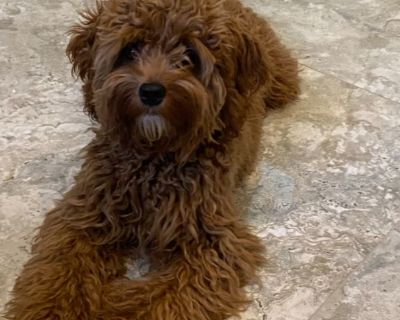 Poodle / St Charles mix