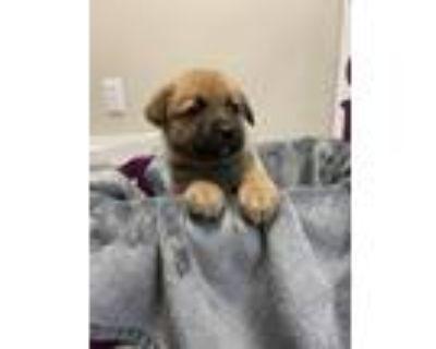Adopt Boulder a German Shepherd Dog, Mixed Breed