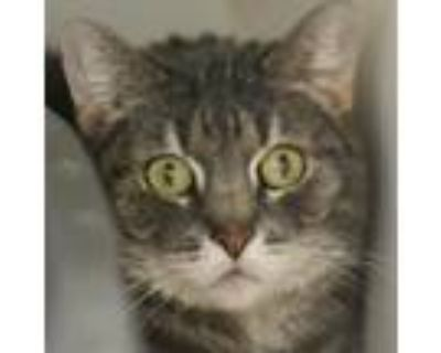 Adopt Alice a Gray or Blue Domestic Shorthair / Domestic Shorthair / Mixed cat