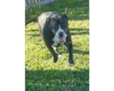Adopt Ruby a Black - with White Boxer / Pit Bull Terrier / Mixed dog in