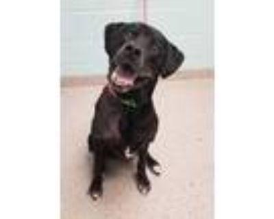 Adopt Charlie a Black Labrador Retriever / Mixed dog in Noblesville