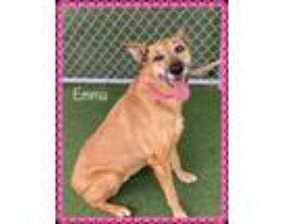 Adopt EMMA (see BARNEY and SAMMY) a Tan/Yellow/Fawn - with Black Greyhound /