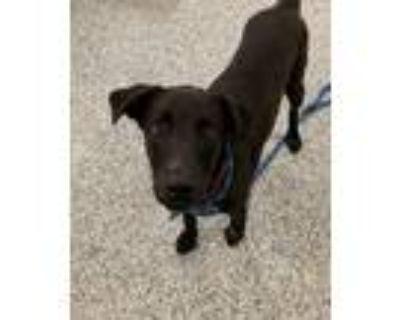 Adopt Geo a Labrador Retriever