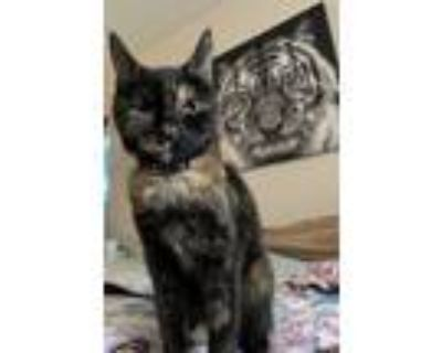 Adopt Raven a Tortoiseshell Domestic Shorthair / Mixed (short coat) cat in