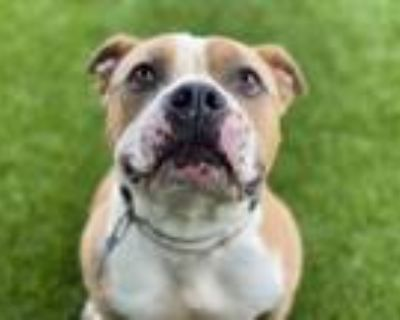 Adopt BACON BITS a Staffordshire Bull Terrier