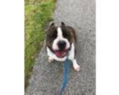 Adopt Armani a Pit Bull Terrier