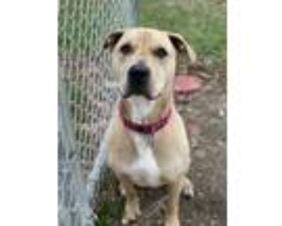 Adopt Charlie a Boxer, American Staffordshire Terrier