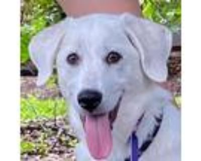 Adopt Yashira a White Great Pyrenees / Mixed dog in Portland, OR (31502192)