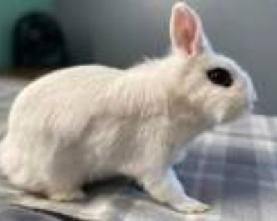 Adopt MAYBELLINE a White Dwarf Hotot / Mixed rabbit in Fort Wayne, IN (31456239)