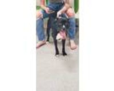 Adopt STEAMER a Black - with White Boxer / Mixed dog in Louisville