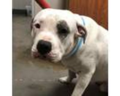Adopt Petee a White - with Tan, Yellow or Fawn American Pit Bull Terrier / Mixed