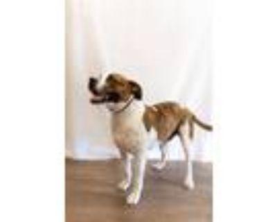 Adopt Duke a Boxer, Labrador Retriever