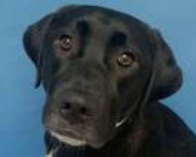 Adopt Abby Road a Labrador Retriever, Collie