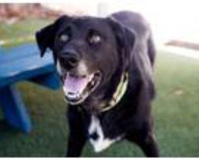 Adopt Zoey a Border Collie, Labrador Retriever