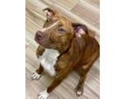 Adopt River a Brown/Chocolate American Pit Bull Terrier / Mixed dog in Burleson
