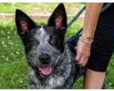 Adopt TWISTER a Australian Cattle Dog / Blue Heeler