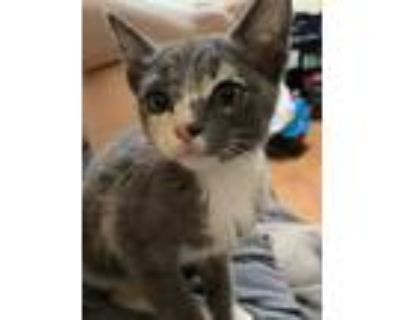 Adopt Etsy a Domestic Shorthair / Mixed cat in Los Lunas, NM (31676257)