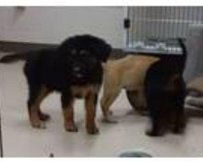 Adopt cream pups a Labrador Retriever, Chow Chow