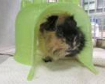 Adopt CHEWY a Guinea Pig