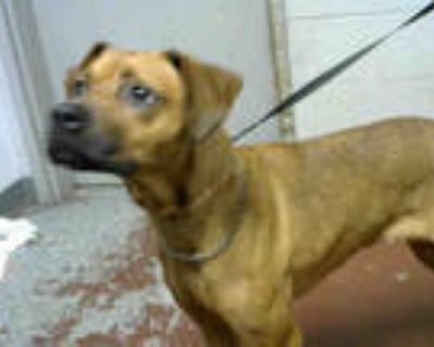Adopt PINKY a Brown/Chocolate Labrador Retriever / Mixed dog in Atlanta