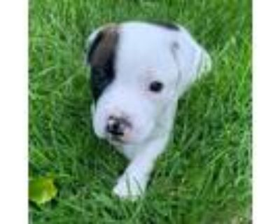 Adopt Blondie May a White - with Tan, Yellow or Fawn Boxer / Labrador Retriever