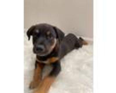 Adopt ROCKET a Australian Cattle Dog / Blue Heeler, Border Collie