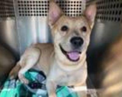 Adopt INDIE a German Shepherd Dog, Pit Bull Terrier