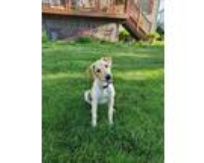 Adopt Dorsey a Labrador Retriever
