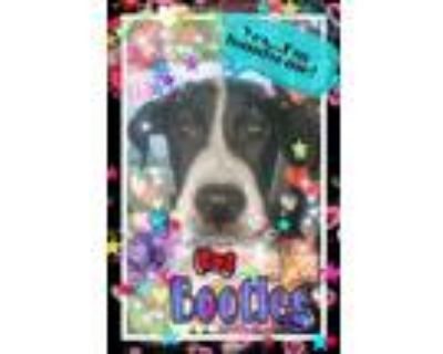 Adopt Bootleg a Black - with White Labrador Retriever / Pointer / Mixed dog in
