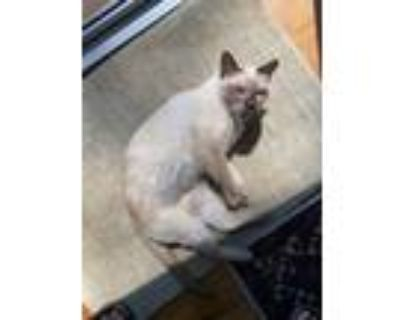 Adopt Gilly a Siamese / Mixed cat in Battle Ground, WA (30741535)