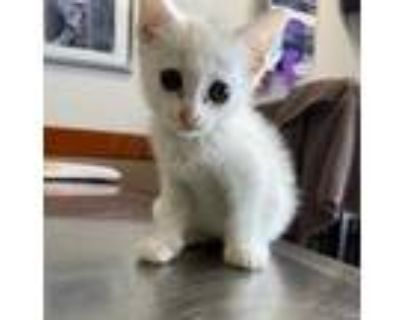 Adopt Davina a White Domestic Shorthair / Domestic Shorthair / Mixed cat in