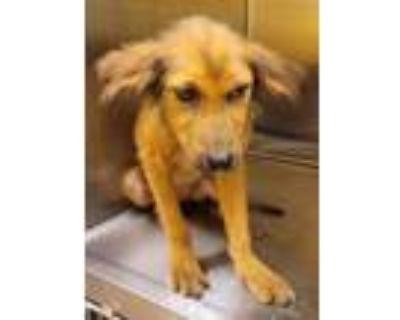 Adopt 20306 a Shepherd, Labrador Retriever