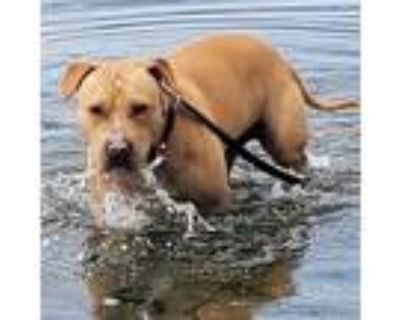 Adopt Theo a Staffordshire Bull Terrier