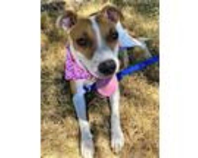Adopt SPITZ a Pit Bull Terrier