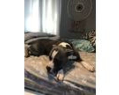 Adopt Diego a Gray/Silver/Salt & Pepper - with White American Pit Bull Terrier /