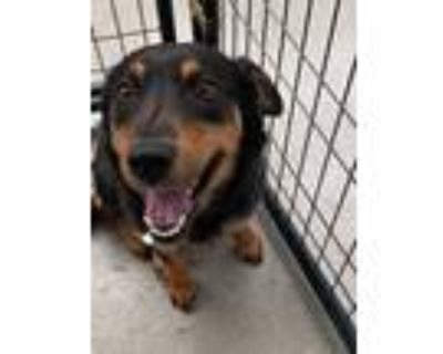 Adopt Bea Mae a Shepherd (Unknown Type) / Labrador Retriever / Mixed dog in Fort