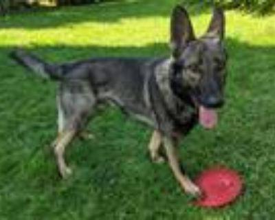 Adopt Koby a Black - with Brown, Red, Golden, Orange or Chestnut Shepherd