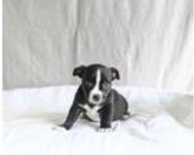 Adopt Tristan a Black Labrador Retriever / American Staffordshire Terrier /