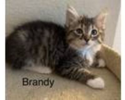 Adopt Brandi a Spotted Tabby/Leopard Spotted Domestic Mediumhair / Mixed cat in