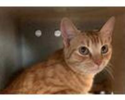 Adopt HOLLY a Orange or Red Tabby Domestic Shorthair / Mixed (short coat) cat in